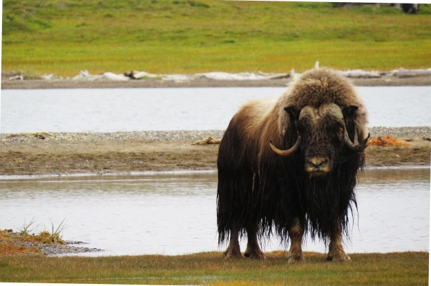 Murray the muskox