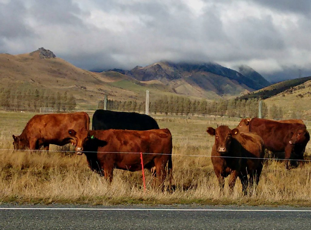 SH94 Mavora Lakes May 18 Red Cattle