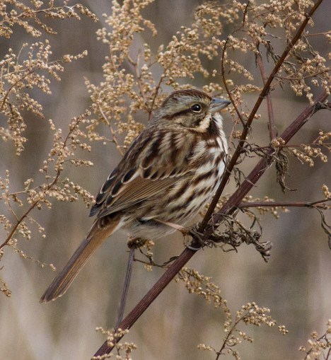 Song Sparrow profile