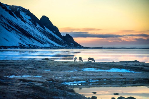 Three goats in Iceland