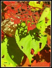 Lacy Fall Leaves