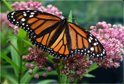 Monarch on milk weed