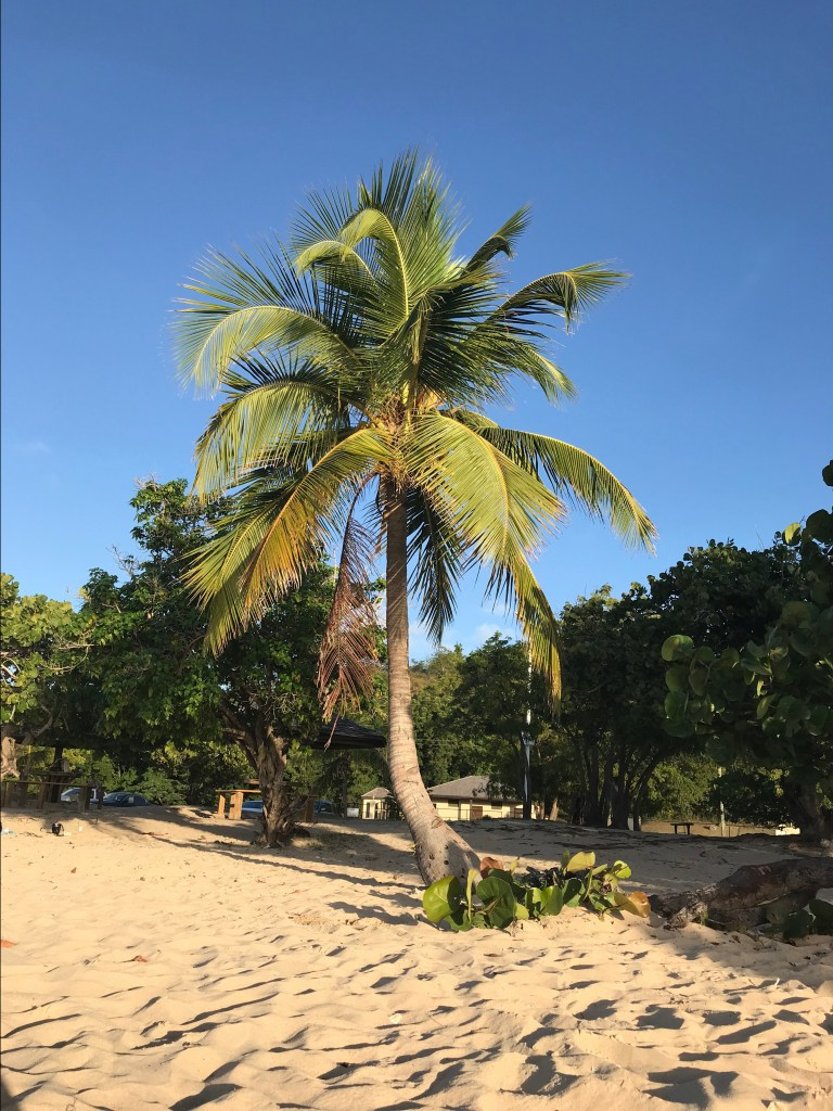 coconut palm tree on the beach in Antigua