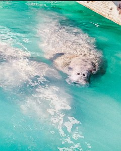 manatees in the blue florida keys water
