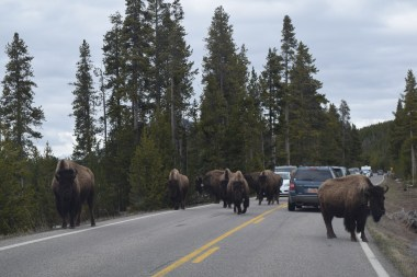 Always expect the unexpected when turning corners in Yellowstone