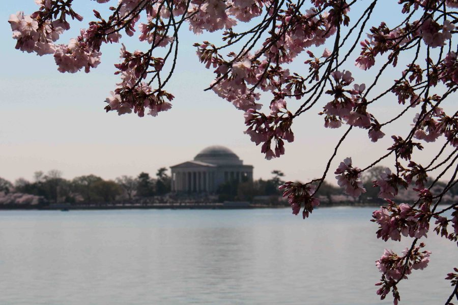 Soaking up the unbelievable cherry blossoms in DC. It's really worth the hype!!   Teaspoon of Nose
