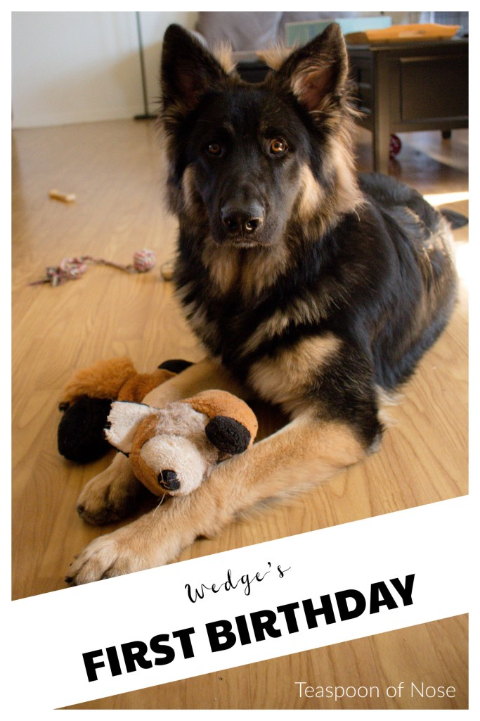 Our German Shepherd puppy is one! Wedge's first birthday | Teaspoon of Nose