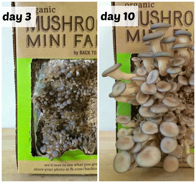 Grow mushrooms in 10 days with this mini farm from Back To The Roots @tspbasil