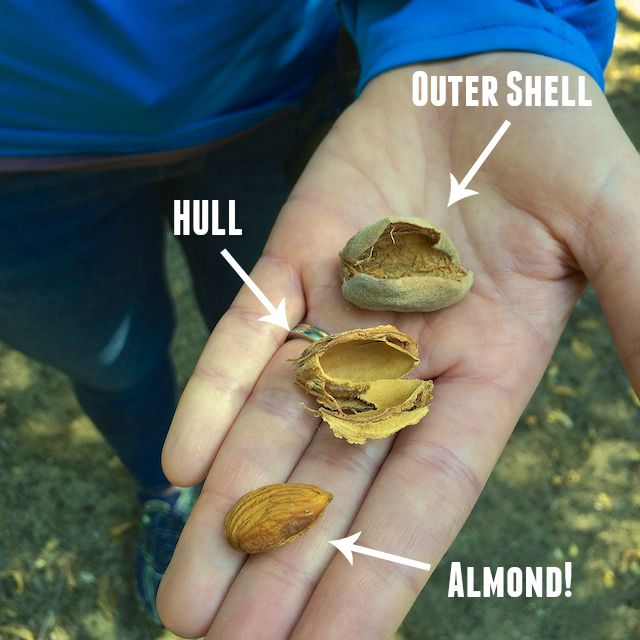 Did you know? Almonds have 3 parts to them - all used as feed, livestock bedding or fuel! @Tspbasil