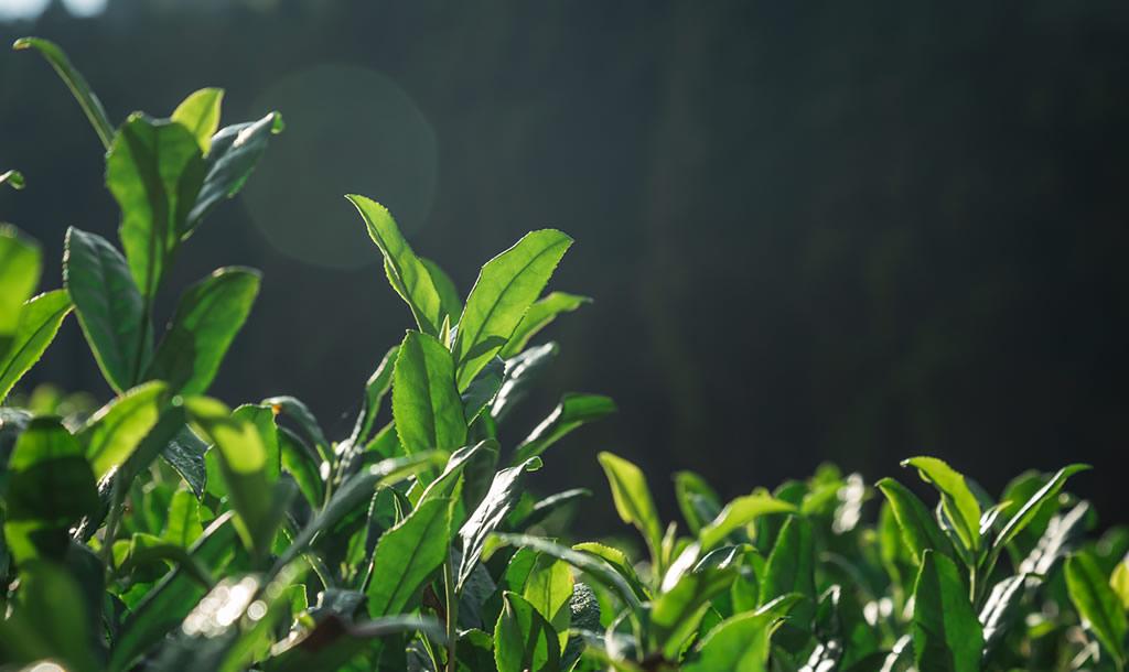 Japanse groene theebladeren