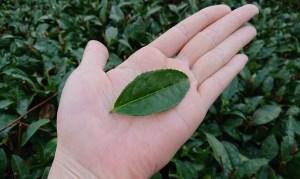 Japanese tea leaves