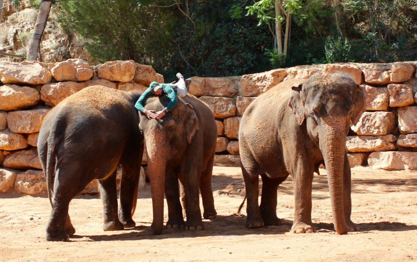 Seværdigheder i Jerusalem, seværdigheder i Israel, rejseblog, danish travelblog, danish travelblogger, travelblog israel, israel rejseblog, seværdigheder jerusalem zoo, jerusalem zoologisk have, børnvenlige seværdigheder i jerusalem, oplevelser i jerusalem, rejsebloggger 2019, dyrepasser leger med elefanter, elefant træning, trænig af elefanter i zoologisk have, zoologisk have elefanter,