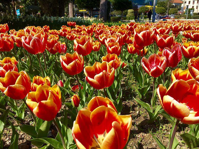 Tulipaner i holland, tulipan markeder, lissi hollland, holland, rejseblogger, travelblogger, holland rejseblogger