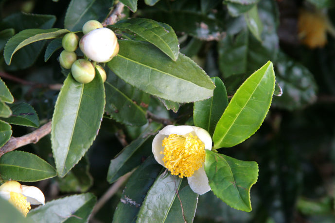 Kagoshima Japan flowering tea bush