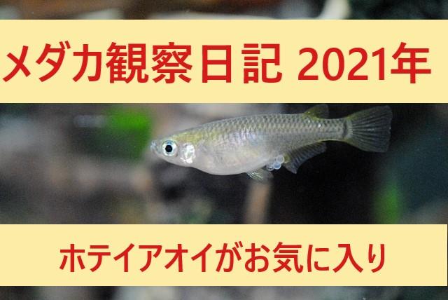 メダカ観察日記2