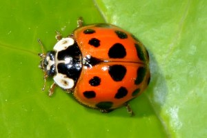 Multicolored-Asian-Lady-Beetle-Harmonia-axyridis-Austin-Insects