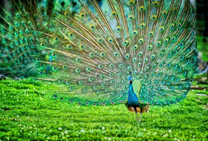 Decoded: Why peacock dance to impress peahens