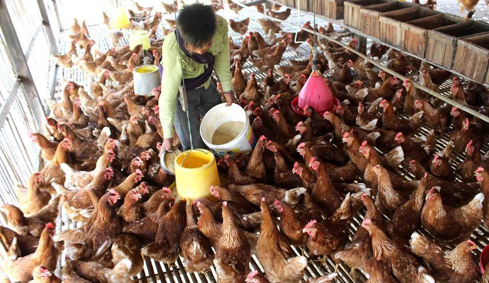 You can eat chicken without any fear of getting infected with Avian Influenza