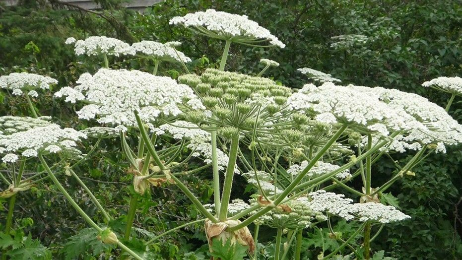 Giant hogweed plant that causes 3rd-degree burns spotted in Virginia class=