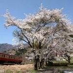 鉄道写真 満開の桜とキハ52 春の大糸線