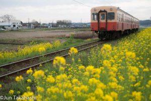 菜の花と小湊鐵道