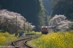 桜と菜の花が咲く小湊鐵道 絶景撮影地11選