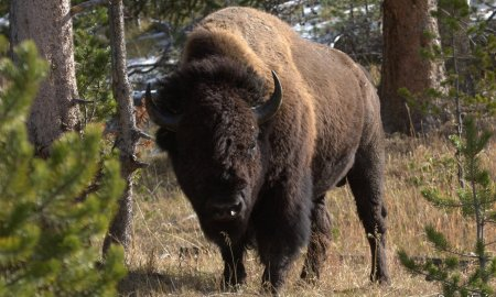 Yellowstone-Duane-Huie-Bison-Feature