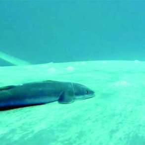 International study uncovers secret surfing life of remoras hitchhiking on blue whales