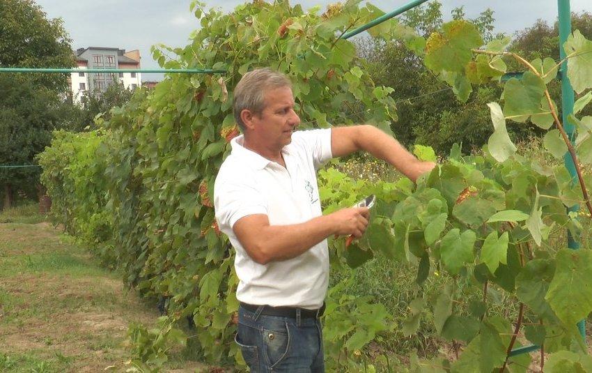 Виноградарство як азарт. Виноградар із Прикарпаття вирощує понад 100 сортів винограду +ВІДЕО