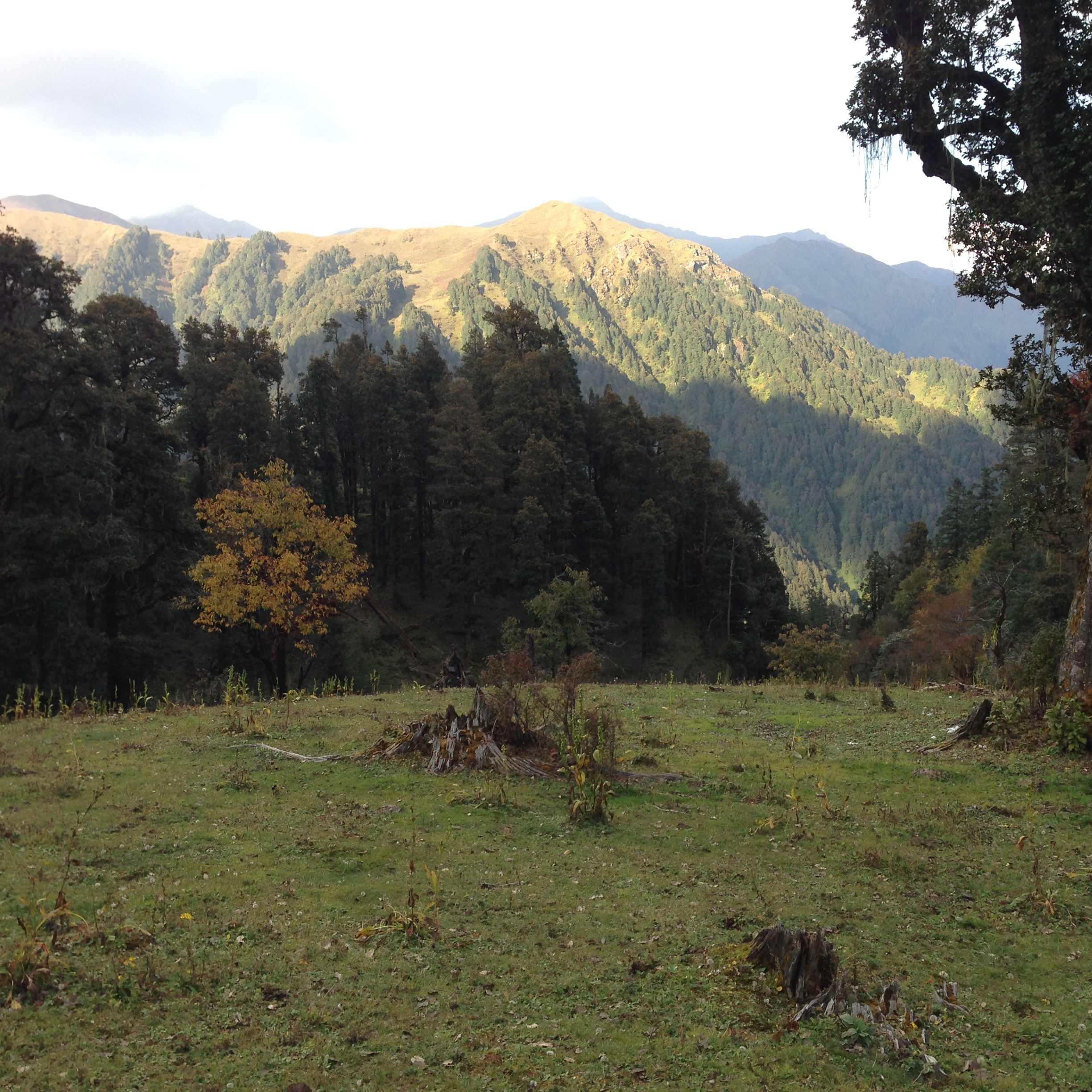 Dayara camp site grassy ground as foreground, tree and mountains as background.