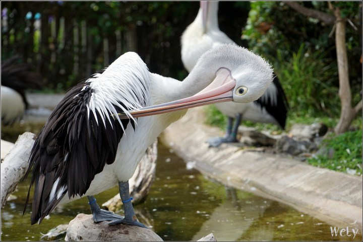 The photo of a pelican scratching himself. Made on Sony a7