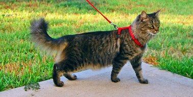 cat_leash_675_435941_9O32H1