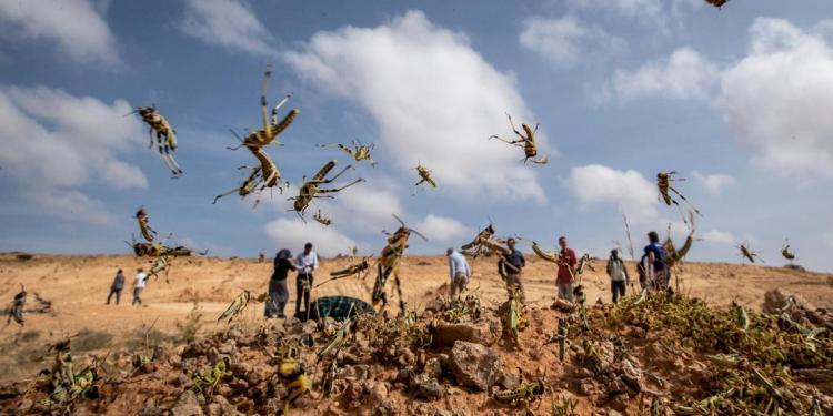 locusts vs drones