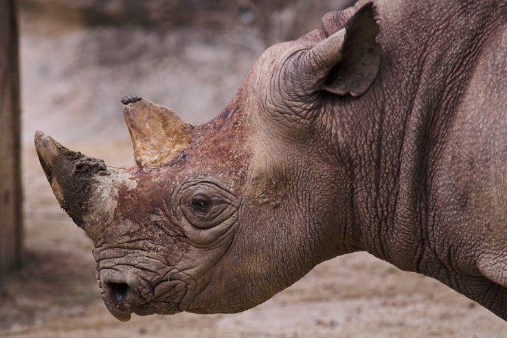 3D 프린터로 만든, '유전적으로 동일한' 코뿔소의 뿔