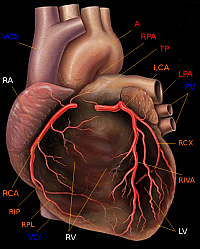 Human heart and arteries (Yale School of Medicine/Wikimedia Commons)