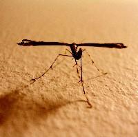 Mosquito (Germán Meyer)