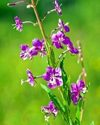 Fireweed (Kelly Gorham, Montana State)