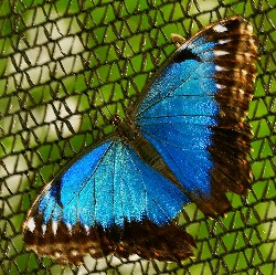 Morpho butteryfly (ArmandoMaynez/Flickr)