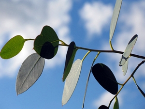 Eucalyptus leaves (USDA.gov)