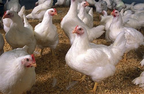 Chicken flock