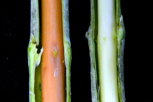Red stem from gene-editing and original green stem