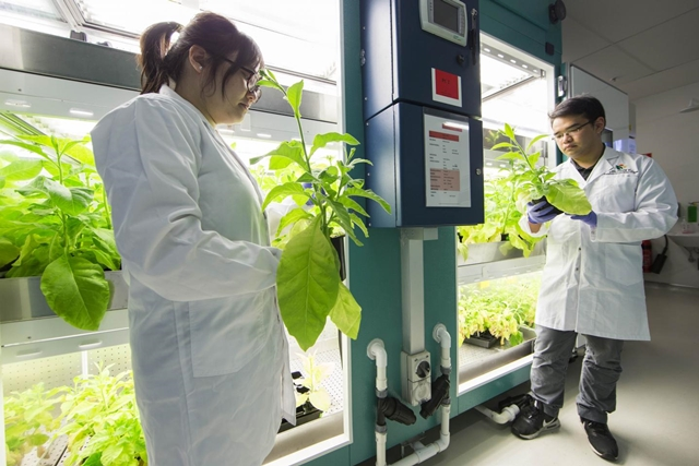 Researchers with tobacco plants