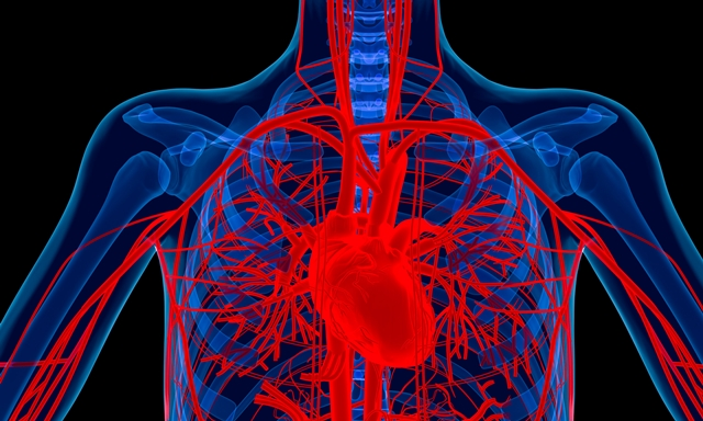 Heart and major blood vessels