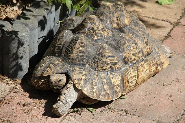 Tanzanian leopard tortoise