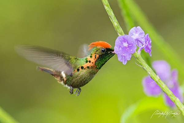 Tufted Coquette, photograph by Quinten Questel, courtesy Birds of Trinidad and Tobago.
