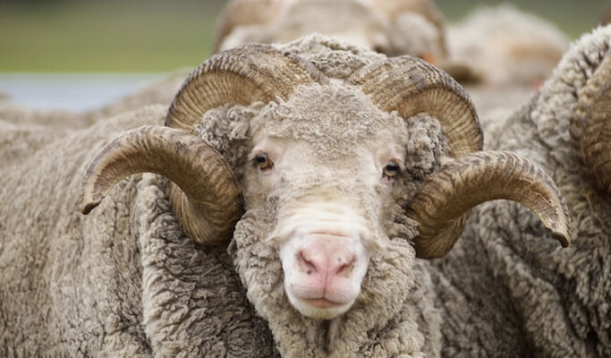 A merino wool sheep looking straight into the camera