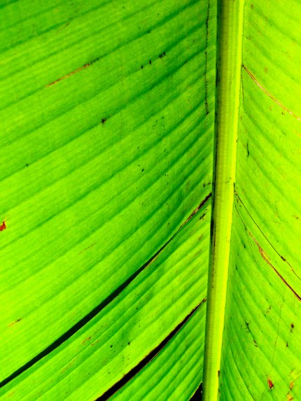 Kew leaf