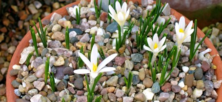 Kew white mini crocus