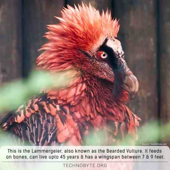 Lammergeier The Bearded Vulture is beautiful