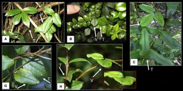 Boquila vine bizarre mysterious plant climber shapeshifter small
